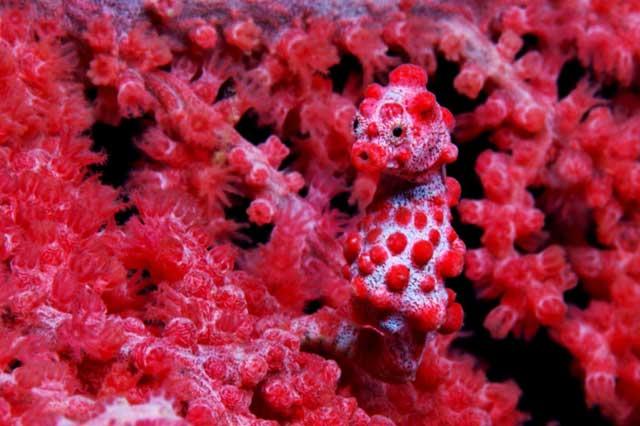 caballito de mar pigmeo