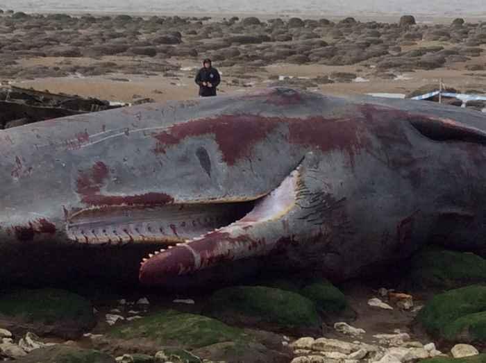 cachalote varado en el Mar del Norte