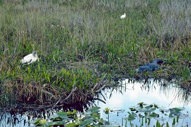 caimán y cigüeña en los Everglades