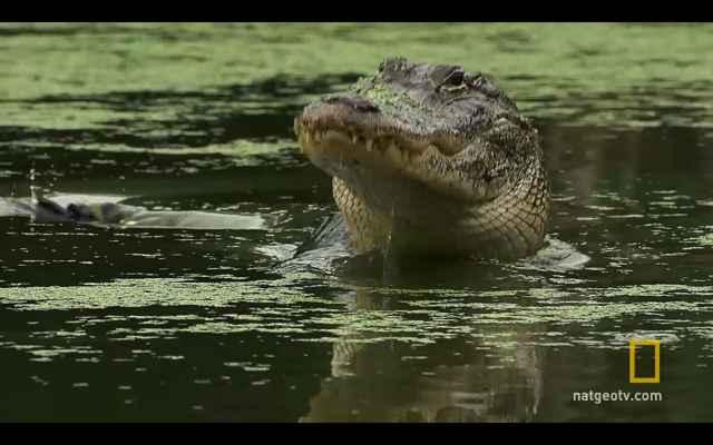 caimán de los Everglades