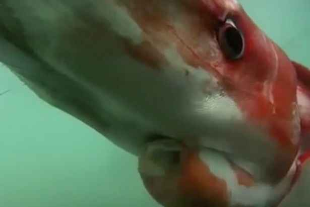 primer plano de calamar gigante visto en Japón