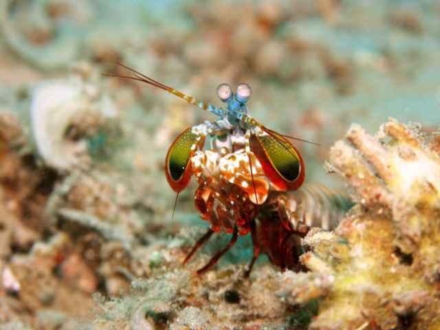 camarón mantis (Odontodactylus scyllarus)