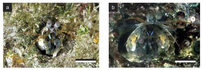 apéndices polarizados del camarón mantis