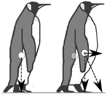 cambio del centro de masa en pingüino delgado y gordo