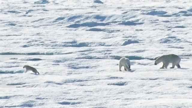 canibalismo del oso polar