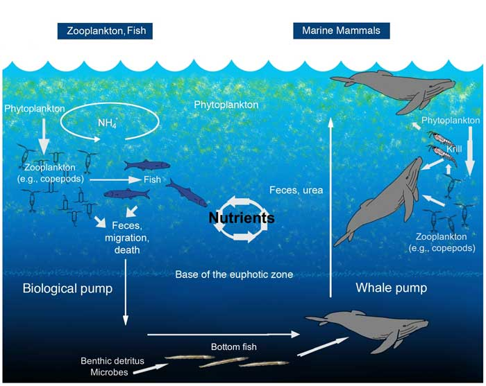 ciclo de las heces de la ballena