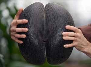 coco de mar (Lodoicea maldivica)