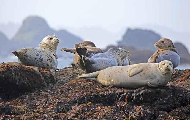 colonia de focas grises