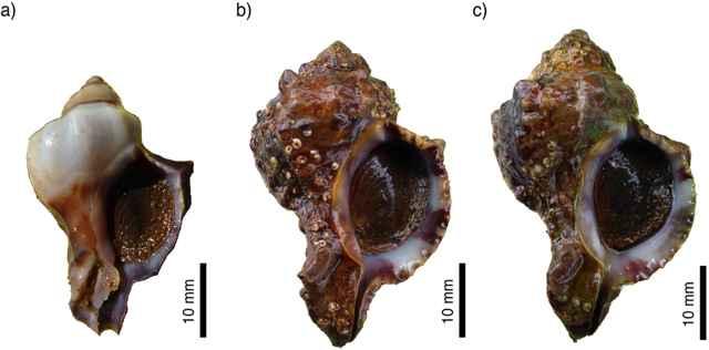 conchas de Hexaplex trunculus