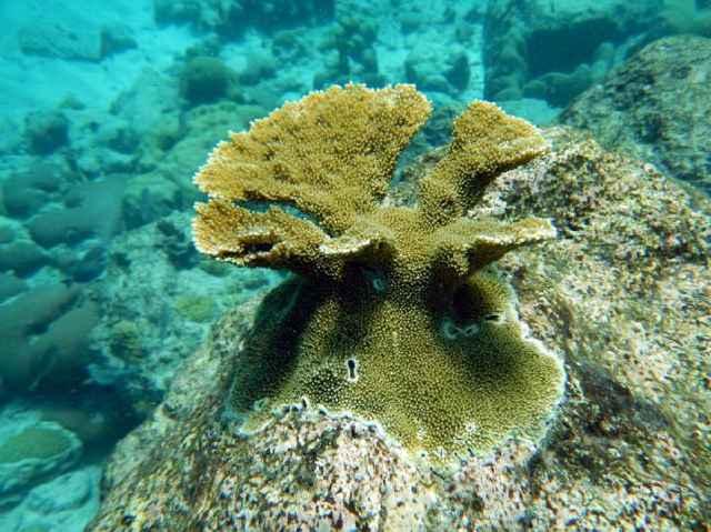 coral cuerno de alce (Acropora palmata)