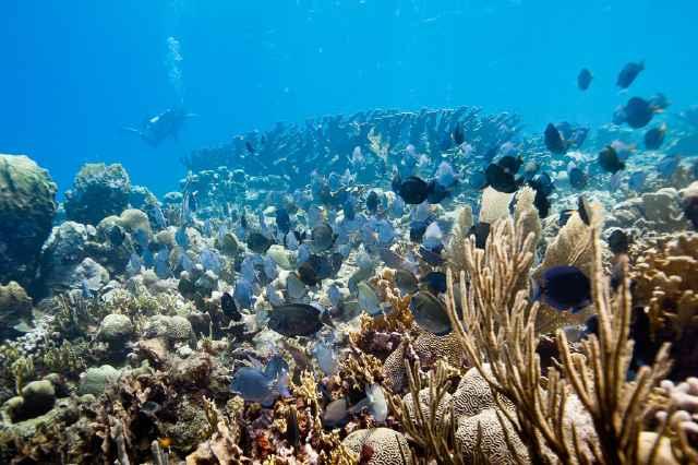 coral cuerno de alce y peces cirujano