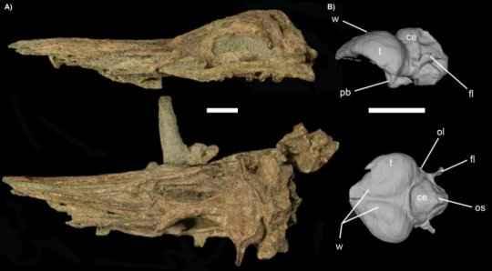 cráneo y endomolde de un antiguo pingüino