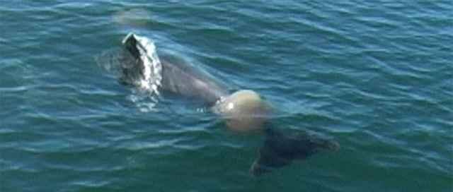 Delfines juegan al fútbol con una medusa