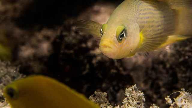 dorado oscuro (Pseudochromis fuscus)