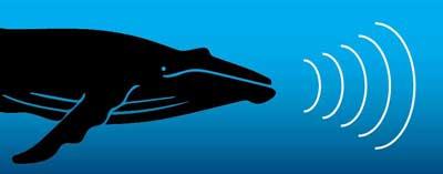 ecolocalización de las ballenas