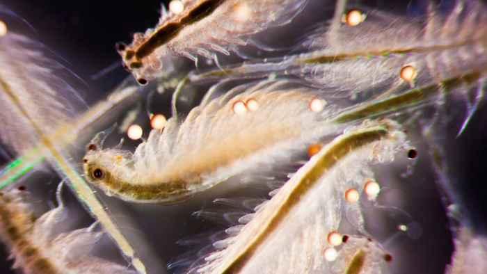 enjambre de Artemia salina
