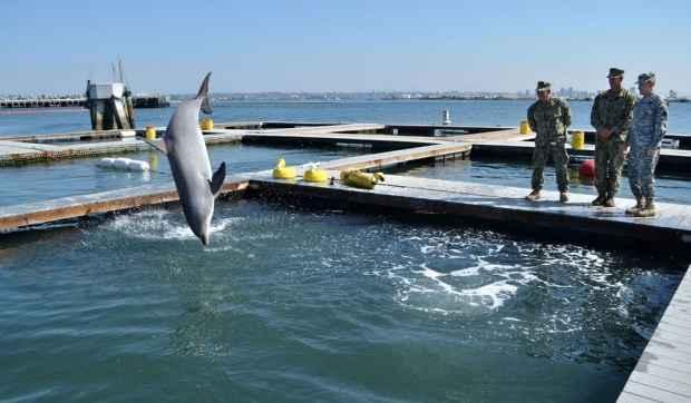 entrenamiento de delfines por la Armada de EE.UU.