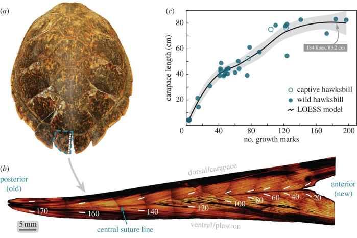 estructura del caparazón de la tortuga carey