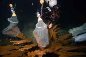 fecundación de corales cuerno de alce
