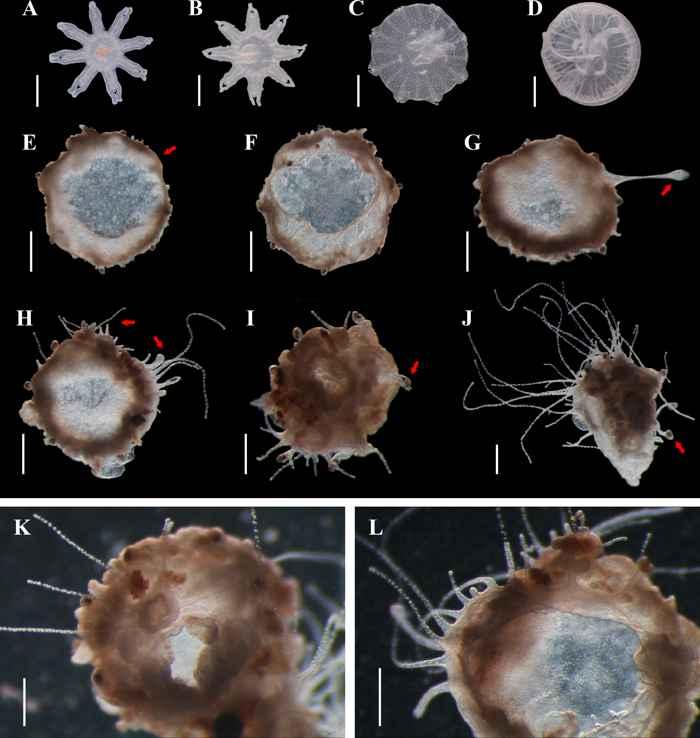 formación de pólipos en medusas luna