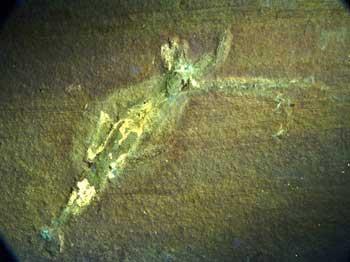fósil de Acanthoteuthis en imagen UV