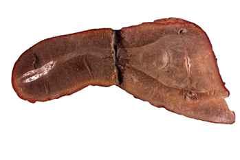 fósil de monstruo de Tully (Tullimonstrum gregarium)