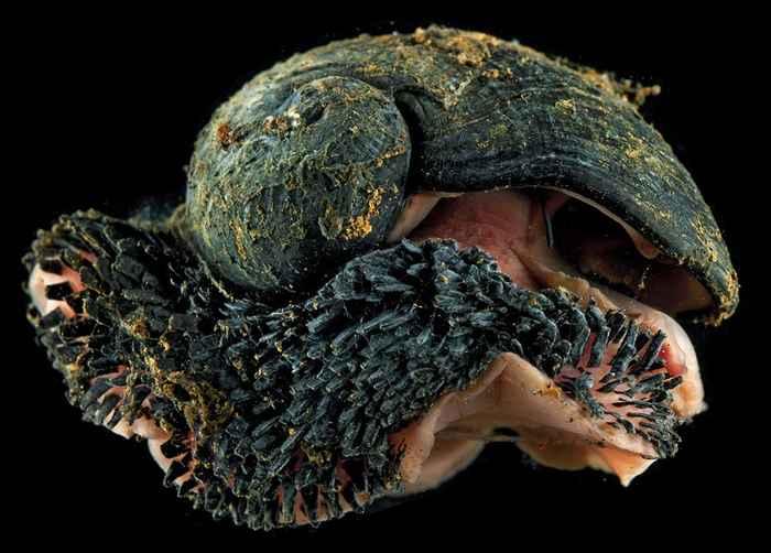 gasterópodo de pie escamoso (Chrysomallon squamiferum)