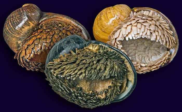 gasterópodos de pie escamoso (Chrysomallon squamiferum)