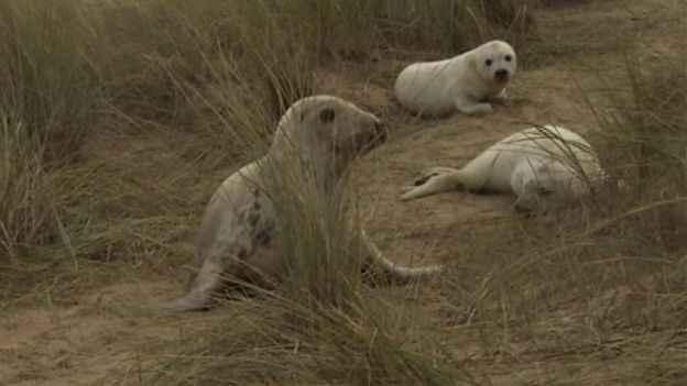 gemelos de foca gris nacidos en Inglaterra