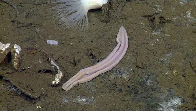 gusano marino churro Xenoturbella churro