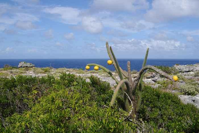 Higo Chumbo Cactus en la isla de Mona, Puerto Rico