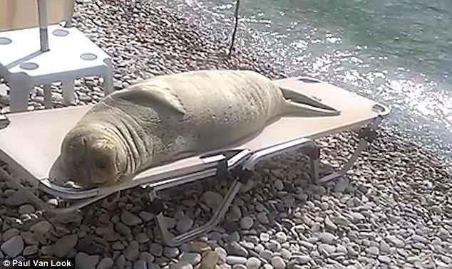 león marino toma el sol en una hamaca de playa