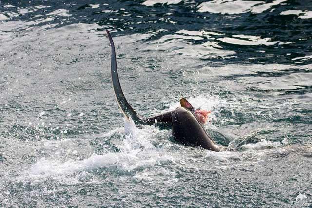 león marino devora tiburón zorro