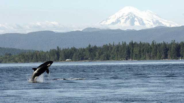 una orca en el Mar de Salish