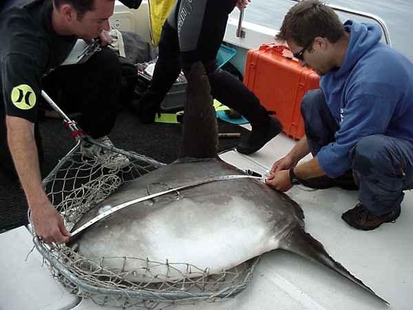 midiendo a un Mola mola