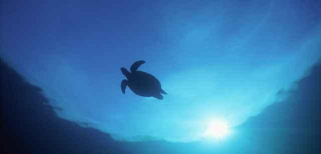 migración de las tortugas marinas