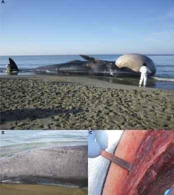 detectado morbillivirus del delfín en el rorcual del Mediterraneo