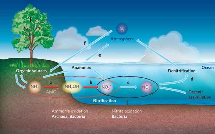 nitrificación en el ciclo del nitrógeno