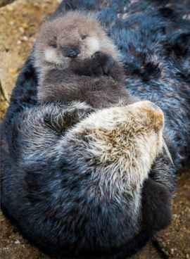 nutria marina cuidando de su bebé recién nacido