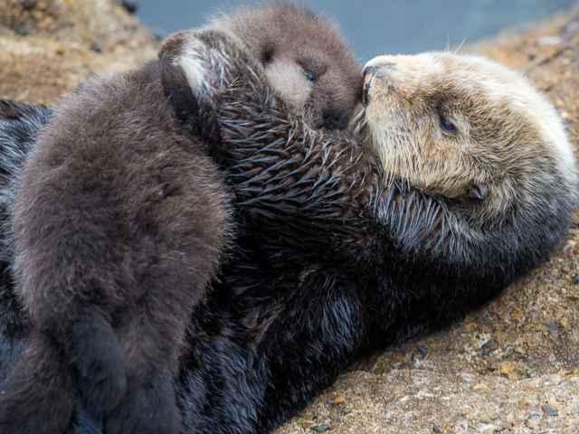 nutria marina acicalando a su bebé recién nacido