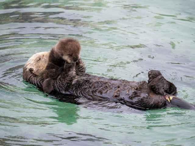 nutria marina salvaje cuidando a su bebé recién nacido