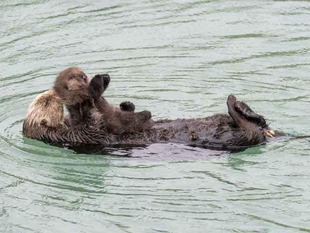 nutria marina jugando con su bebé