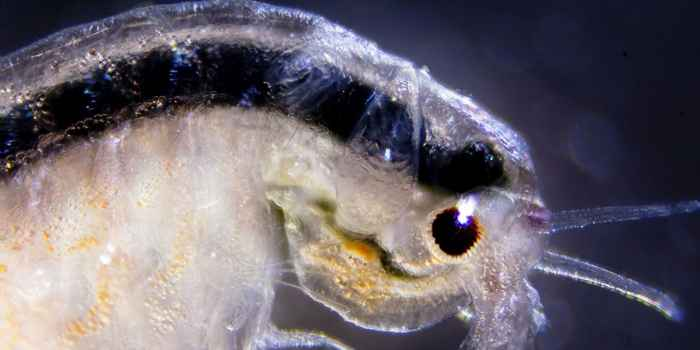 ojos de la Artemia salina
