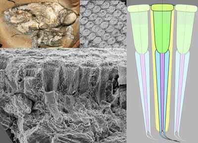 ommatidias del Dollocaris ingens