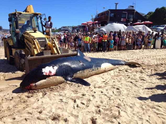 retirada de la orca varada en Sudáfrica