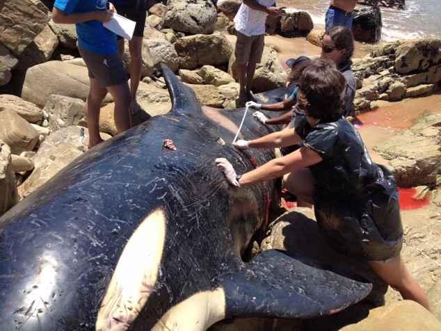orca varada en Sudáfrica
