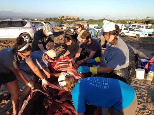 necropsia de la orca varada en Sudáfrica