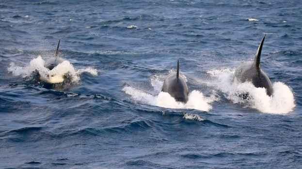 orcas cazando