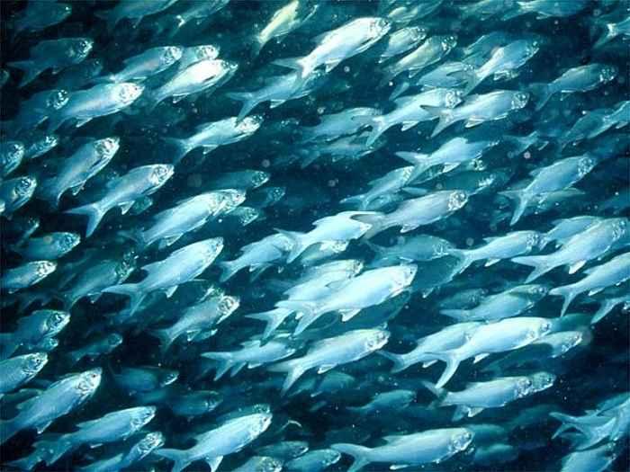 peces mesopelágicos