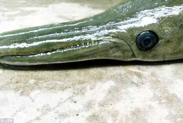 pez cocodrilo capturado en China